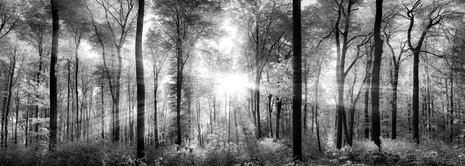 39809307 - panorama of a scenic forest of fresh green deciduous trees with the sun casting its rays of light through the foliage